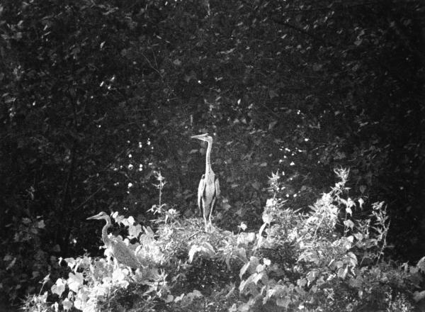 [Hérons du Parc des oiseaux de Villars-les-Dombes]