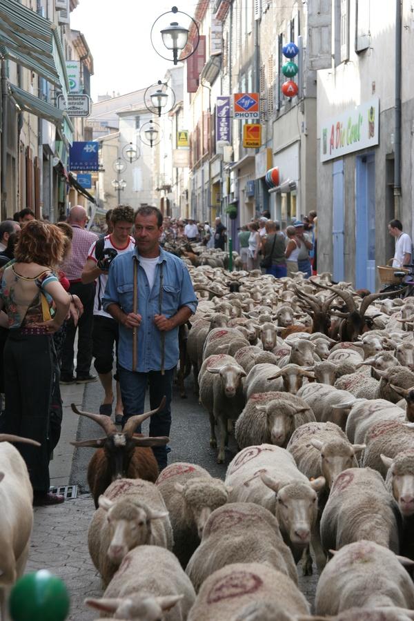 [Fête de la transhumance de Die : le grand passage du troupeau à travers la ville]